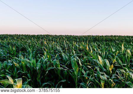 Corn Field And Clear Skies. Natural Green Corn Field