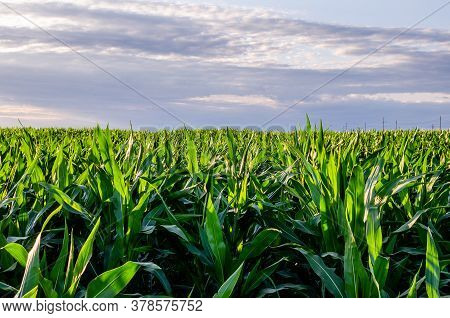 Corn Is Grown On A Field For Receiving A Succulent Feed For Animals. A Field Of Corn Under A Blue Sk