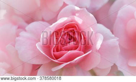 Beautiful Pink Roses Bonica. Perfect For Background Of Greeting Cards For Birthday, Valentine's Day
