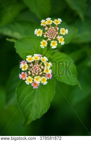 Multicolored Lantana Flowers In The Garden. Beautiful Colorful Hedge Flower, Weeping Lantana.