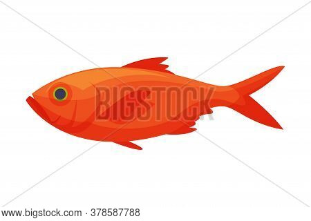 Red Koi Carp Freshwater Fish, Fresh Aquatic Fish Species Cartoon Vector Illustration