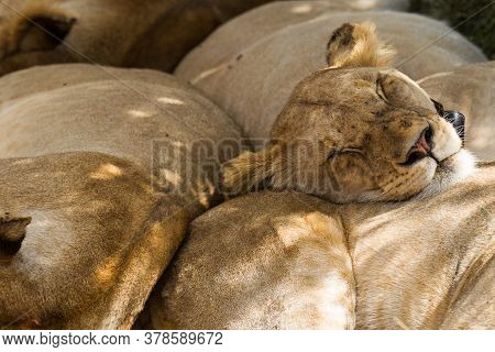 Sleeping Lion Pride With Close Up On Lioness Face Wearing A Black Collar In Ngorongoro Crater In Tan