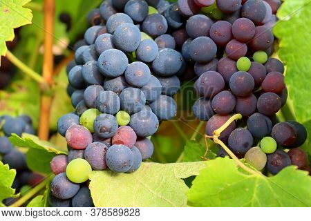 Black Grapes Hang On A Vineyard Branch. The Grapes Are Ripe. Vineyards Of Portugal.