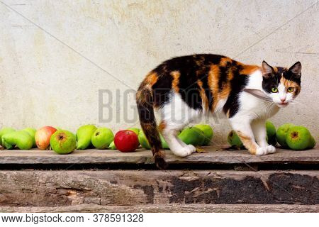 Curious Calico Cat Walking Outside With Feather In The Mouth. Predator In The Autumn Garden. Fruit C