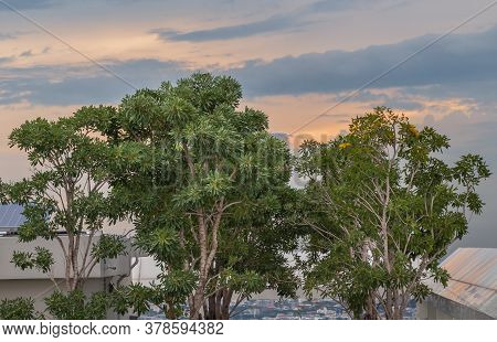 Bangkok, Thailand - Jul, 25, 2020 : Big Trees In The Rooftop Garden With The Background Of Blue Sky
