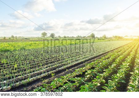 Green Leek Onion Plantation. Agroindustry And Agribusiness. Conservation Of Water Resources And Redu