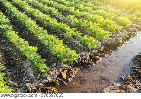 Water Filled Irrigation Canal And Green Carrot Plantation. Growing Food On The Farm. Growing Care An