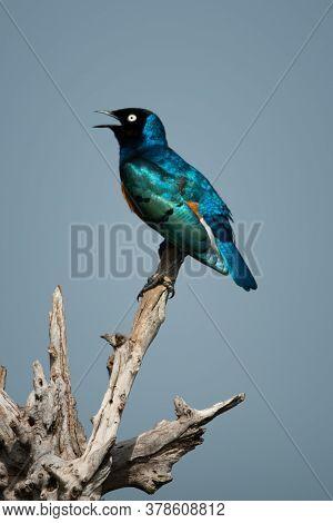 Superb Starling Sings Perching On Dead Log