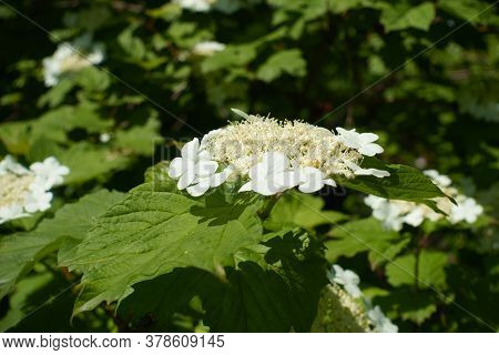 Side View Of Corymb Of White Flowers Of Viburnum Opulus In Mid May