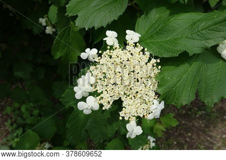 Top View Of Corymb Of White Flowers Of Viburnum Opulus In Mid May