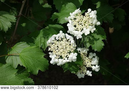 White Corymbs Of Flowers Of Viburnum Opulus From Above
