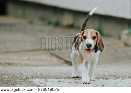 Cute Male Beagle Puppy, 3 Months Old, Standing In The Yard