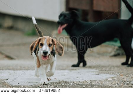 Cute Male Beagle Puppy, 3 Months Old, With Black Dog In Background
