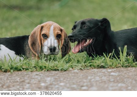 Cute Male Beagle Puppy, 3 Months Old, Playing With Black Female Dog