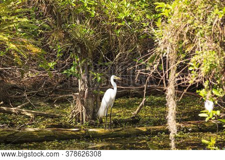 White Water Bird Waiting To Catch Fish In The Everglades In Spring