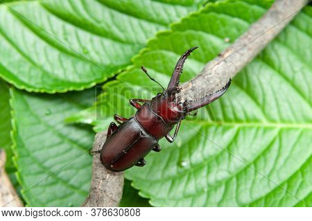 Japanese Stag Beetle Called In Japan Kuwagata Mushi. Isolated On Green Leaves Background.