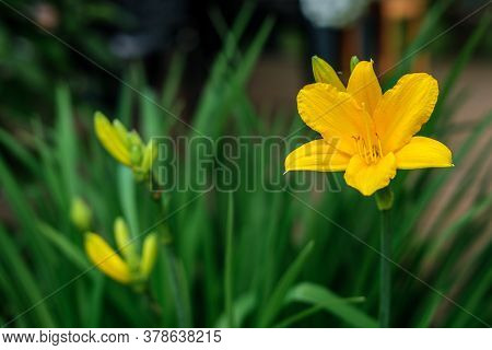 The Yellow Flower Of A Yellow Daylily Among Green Leaves And Unfrozen Buds In The Garden.