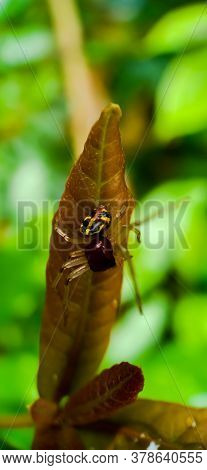 Jumping Spider On A Leaf Close Up
