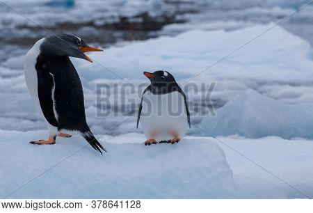 Two Penguins On The Iceberg. Mom And Chick Gentoo Penguins. Antarctica, Antarctic Peninsula.