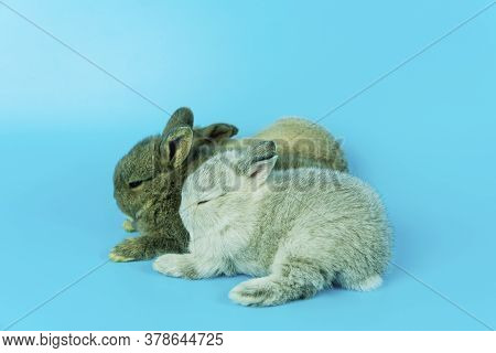 Group Of Newborn Bunny Lying Down On Blue Background. Three Adorable Lovely Fluffy Rabbit Lying Toge