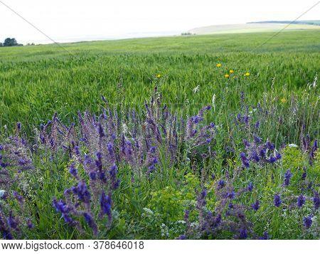 Field Of Purple Salvia. Green Field In Summer Day
