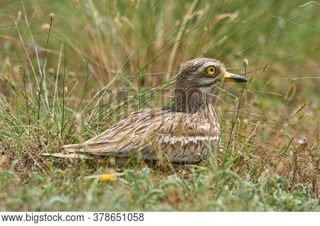 Burhinus oedicnemus sitting on the nest during breeding season (Eurasian Thick-knee, Eurasian Stone-curlew)
