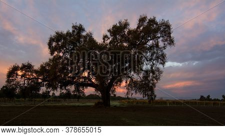 An Oak Tree, Quercus Californicus, In The Sunrise In Davis, California, Usa, Featuring Orange And Bl
