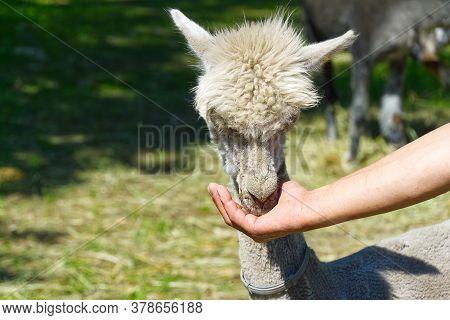 Man Feeding Big Lama. Hand Feeding Alpaca In Farm.
