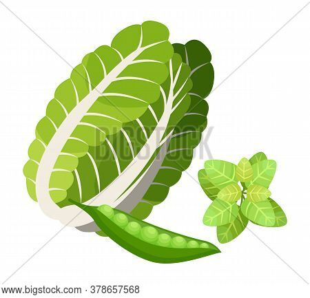 Isolated Chinese Cabbage, Basil Leaves, Pea Pod. Natural Organic Vegetable And Greenery For Salad Or