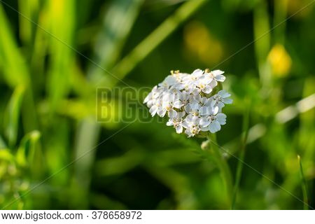 Beautiful White Wildflower On A Green Background.