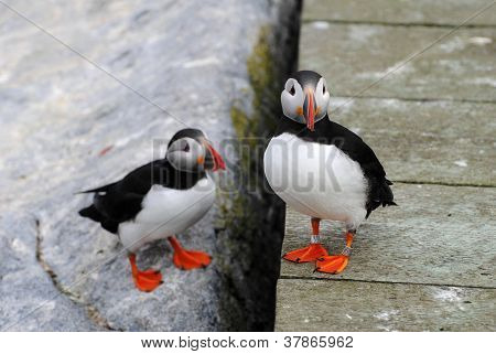 Two Puffins Socializing