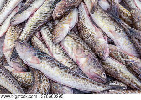 French Fish Market. Fresh Greater Weever On The Ice. Hight Quality Photo