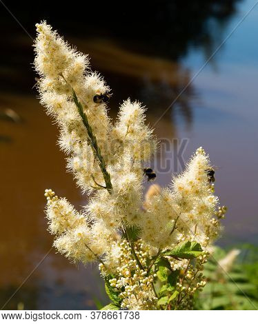 Bumblebees Pollinate The Inflorescence Of White Flowering Astilba Illuminated By The Sun