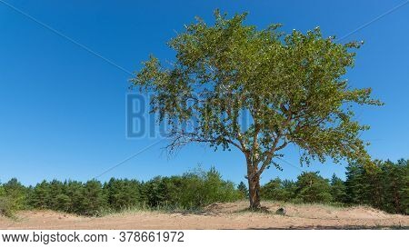 High Spreading Aspen Is On The Coastal Sand Against The Backdrop Of A Pine Grove Under A Blue Cloudl