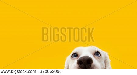 Banner Hide Funny Surprised Dog Puppy  Isolated On Yellow Background.