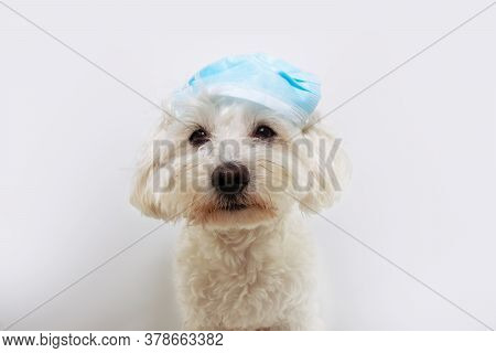 Funny Maltese Dog Wearing A Protective Face Mask In A Wrong Way. Isolated On White Background.