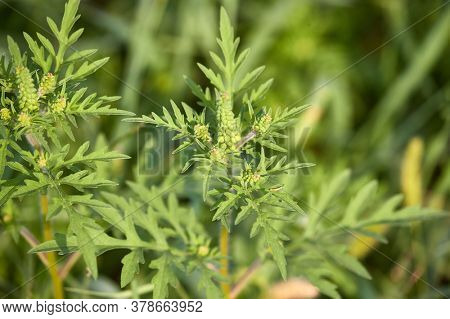Ragweed, highly allergic plant releaseing pollens in the end of August
