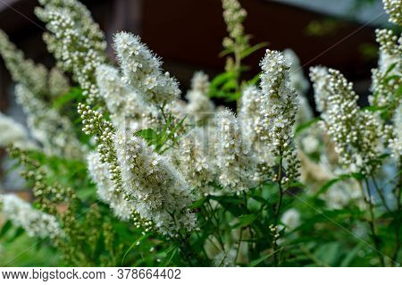Long White Flowers Of Rowanberry Garden On A Personal Plot.