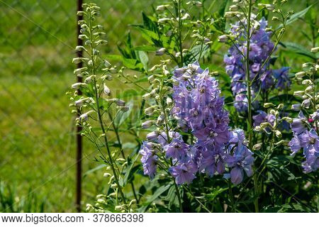Lilac Delphinium Flowers In The Garden Against A Green Lawn And A Metal Mesh Fence.