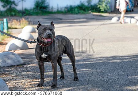 Beautiful Portrait And Robust Build Of A Black Staffordshire Bull Terrier With A Red Collar Walking