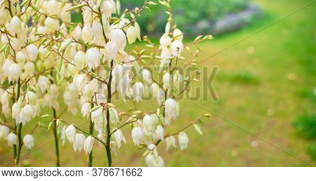 Cream Color Blossoms On Flower Stalk, Creamy White Blooms On Flowering Branch With Clear Blue Heaven
