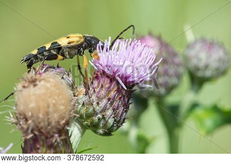 Spotted Longhorn (rutpela Maculata) Beetle