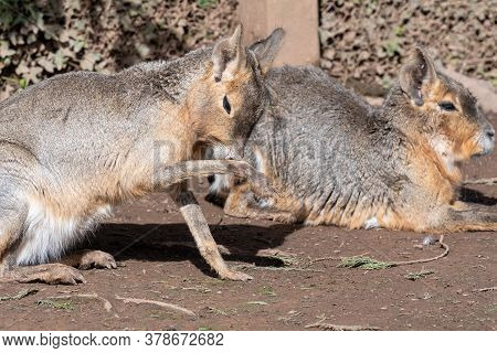 Portrait Of A Patagonian Mara (dolichotis Patagonum) In Captivity