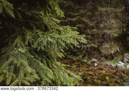 Christmas Background With Beautiful Green Pine Tree Brunch Close Up. Nature Concept. Spruce Branch.