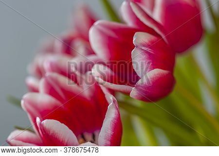 Tulip In Spring In Arrangemnt Red And White