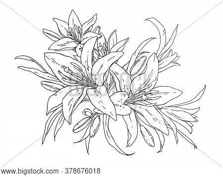 Lilies Flowers Monochrome Vector Illustration. Beautiful Draw Of Tiger Lilly Isolated On White Backg