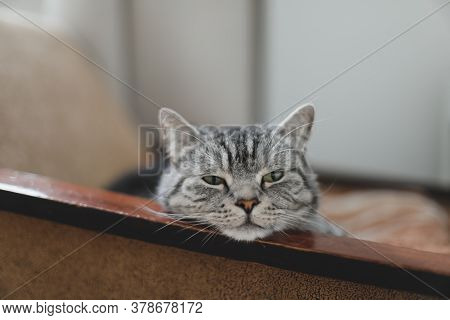 Home Pet Cute Kitten Cat Lying In The Chair With Funny Looking Close Up Photo. Cute Scottish Straigh