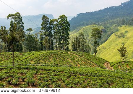 Tea Plantation Sri Lanka. Plantations Of Tea Bush Plants. The Hills Where Tea Is Grown. Sri Lanka Ce
