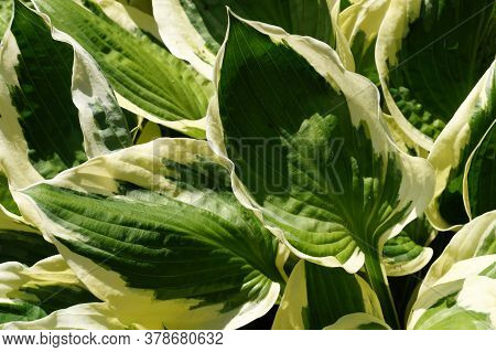 A Close-up Of The Leaves With Bright Edges. Hosta Is A Genus Of Plants Commonly Known As Hostas, Pla