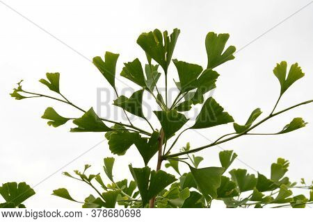 Relic Tree Of A Ginkgo Of A Biloba Popular Herb.green Leaves From A Gingo Biloba Tree .